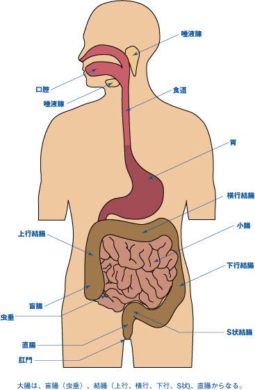 人体の消化器官
